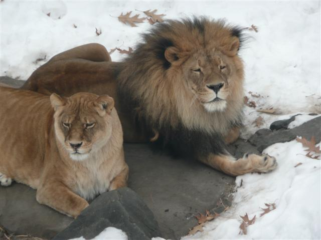 a male and female lion sitting on a rock in the snow