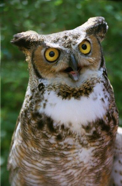 a great horned owl looking at the camera