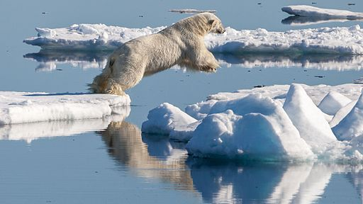 a polar bear jumping between patches of ice